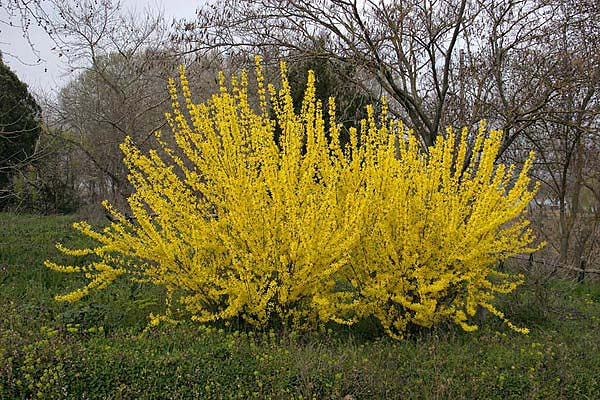 forsythia-intermedia-lynwood-02.jpg