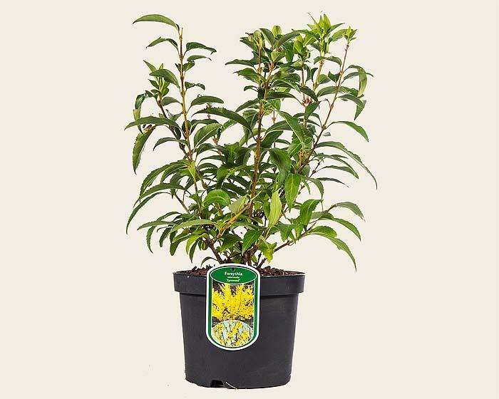 forsythia-intermedia-lynwood-03.jpg