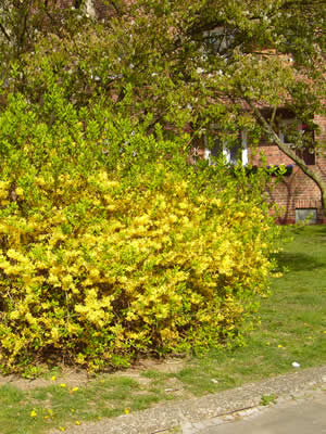 forsythia-intermedia-02.jpg