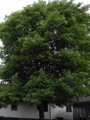 fraxinus-pubescens-01.jpg