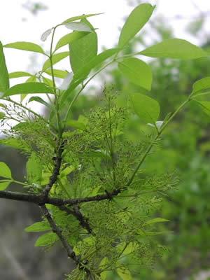 fraxinus-pubescens-02.jpg