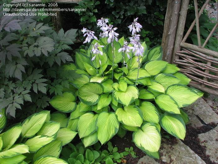 hosta-fortunei-gold-standart-01.jpg