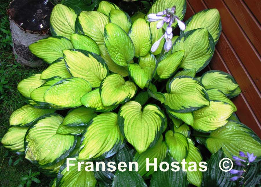hosta-fortunei-gold-standart-03.jpg