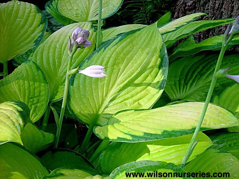 hosta-fortunei-gold-standart-05.jpg