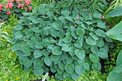 hosta-hybridum-black-hills-05.jpg