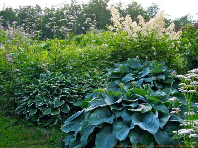 hosta-hybridum-blue-angel-01.jpg