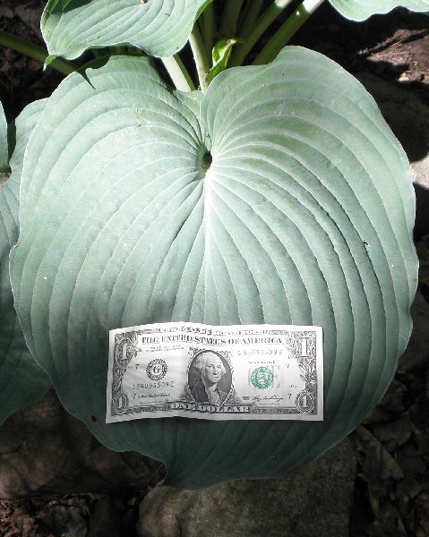 hosta-hybridum-blue-angel-02.jpg