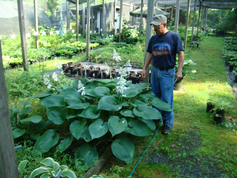 hosta-hybridum-blue-angel-05.jpg