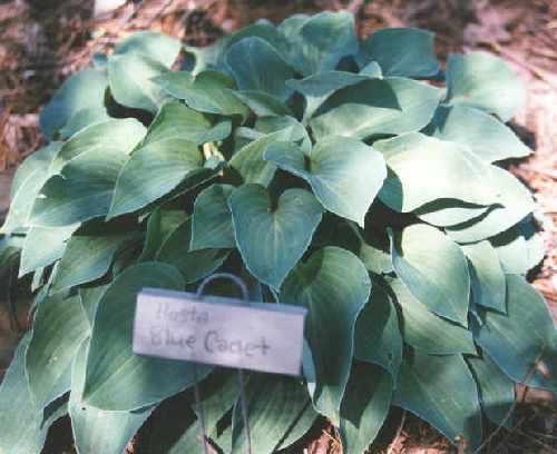 hosta-hybridum-blue-cadet-07.jpg