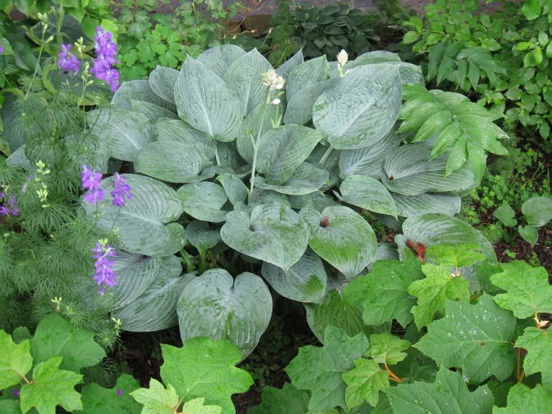 hosta-hybridum-blue-hawaii-02.jpg