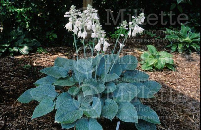 hosta-hybridum-blue-hawaii-03.jpg