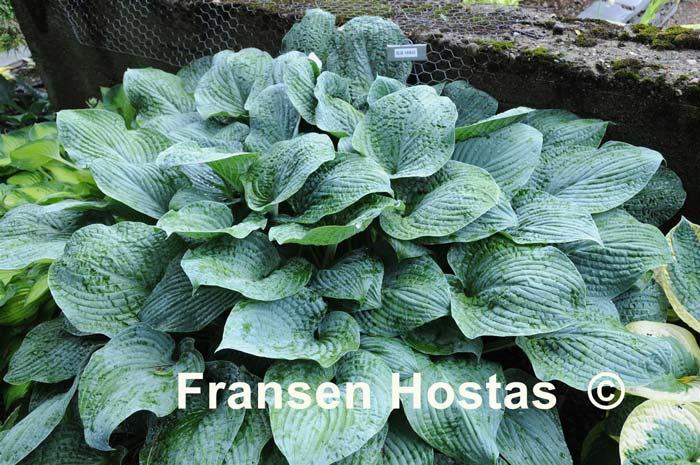 hosta-hybridum-blue-hawaii-04.jpg