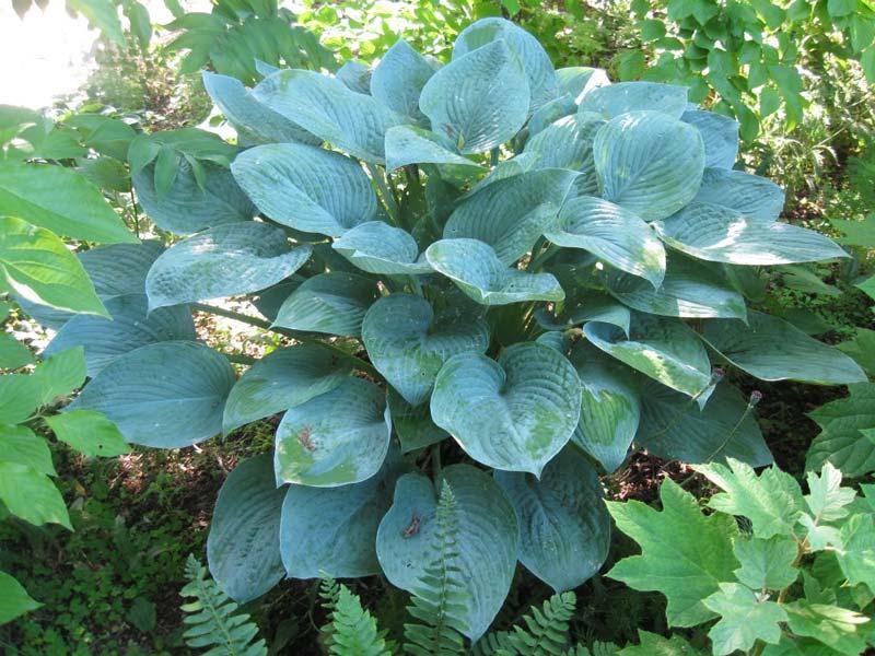 hosta-hybridum-blue-hawaii-05.jpg