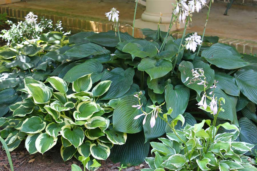 hosta-hybridum-blue-mammoth-01.jpg