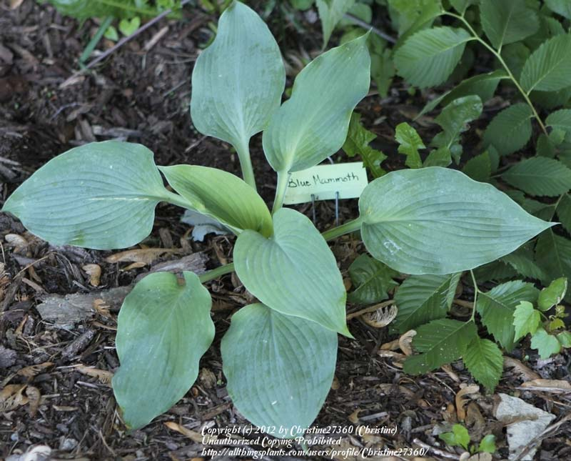 hosta-hybridum-blue-mammoth-07.jpg