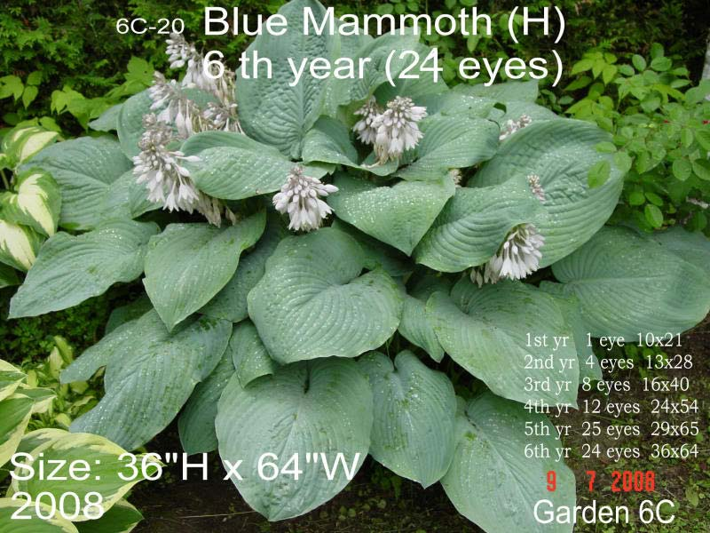 hosta-hybridum-blue-mammoth-09.jpg