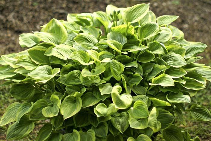 hosta-hybridum-golden-tiara-03.jpg