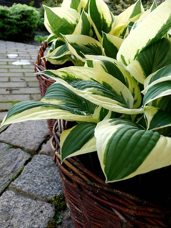 hosta-hybridum-patriot-06.jpg