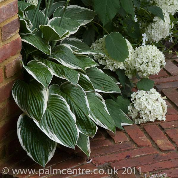 hosta-hybridum-patriot-09.jpg