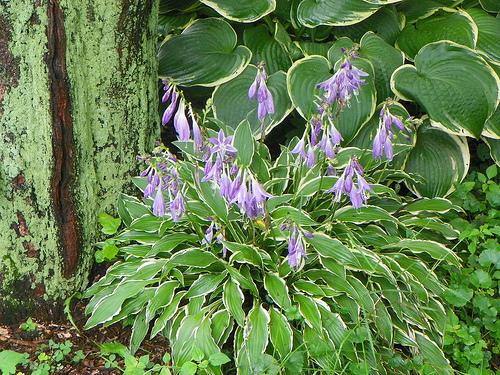 hosta-hybridum-stilletto-07.jpg