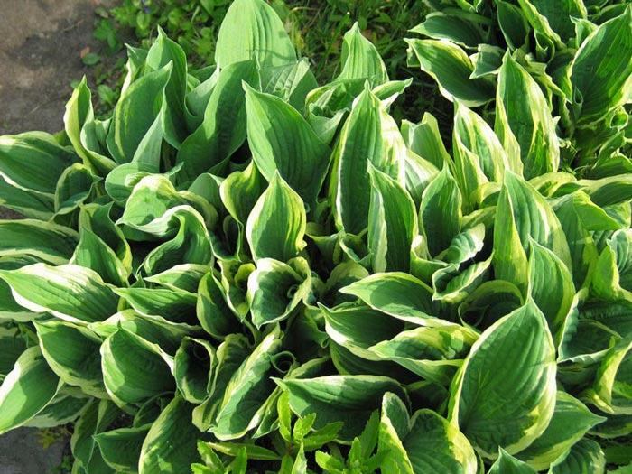 hosta-sieboldiana-aureomarginata-02.jpg