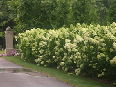 hydrangea-arborescens-grandiflora-02.jpg