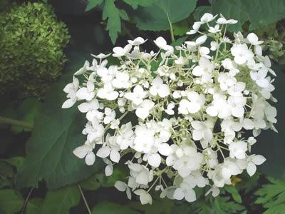 hydrangea-arborescens-grandiflora-03.jpg