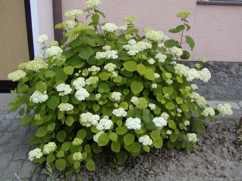 hydrangea-arborescens-01.jpg