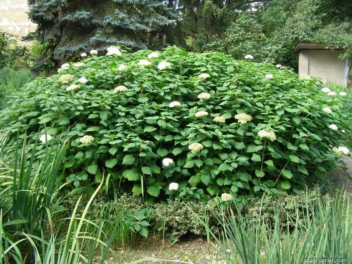 hydrangea-arborescens-02.jpg