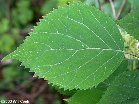 hydrangea-arborescens-04.jpg