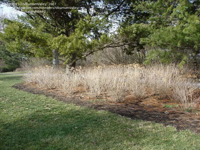 hydrangea-arborescens-05.jpg