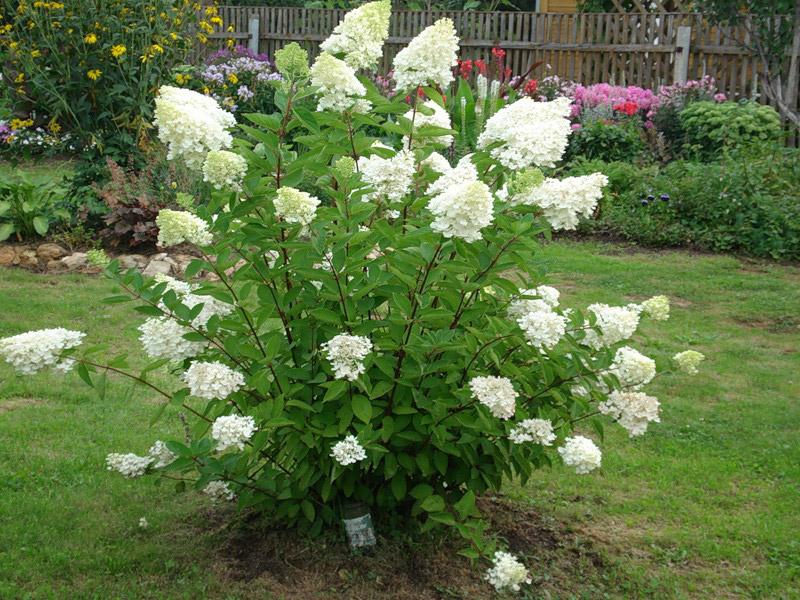 hydrangea-paniculata-02.jpg