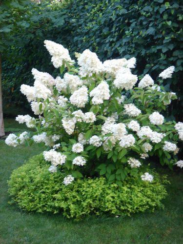 hydrangea-paniculata-03.jpg