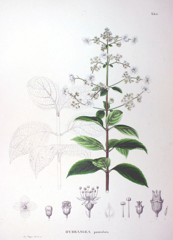 hydrangea-paniculata-05.jpg