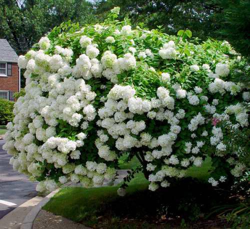 hydrangea-paniculata-06.jpg