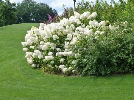 hydrangea-paniculata-07.jpg
