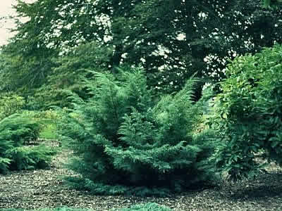 juniperus-chinensis-hetzii-01.jpg