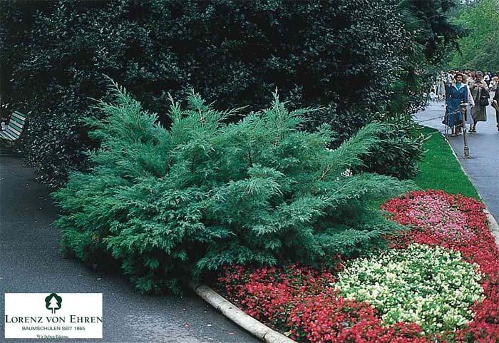 juniperus-chinensis-hetzii-02.jpg