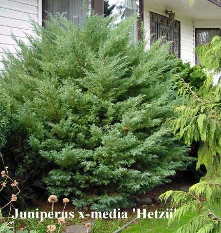 juniperus-chinensis-hetzii-03.jpg