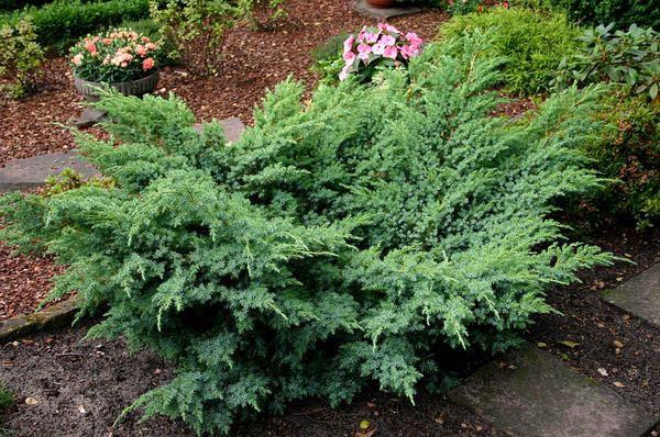 juniperus-chinensis-hetzii-04.jpg