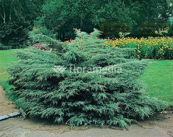 juniperus-chinensis-hetzii-06.jpg