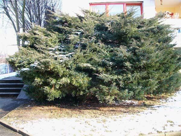 juniperus-chinensis-hetzii-07.jpg