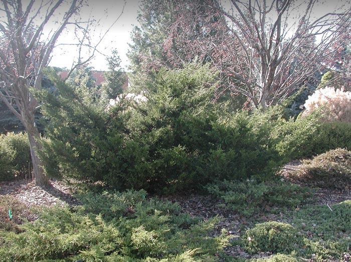 juniperus-chinensis-mint-julep-01.jpg