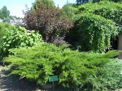 juniperus-chinensis-mint-julep-02.jpg