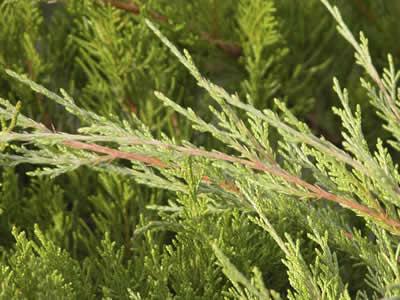 juniperus-chinensis-mint-julep-03.jpg