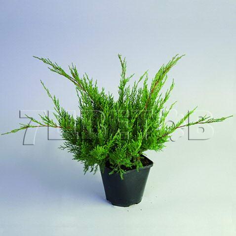 juniperus-chinensis-mint-julep-04.jpg