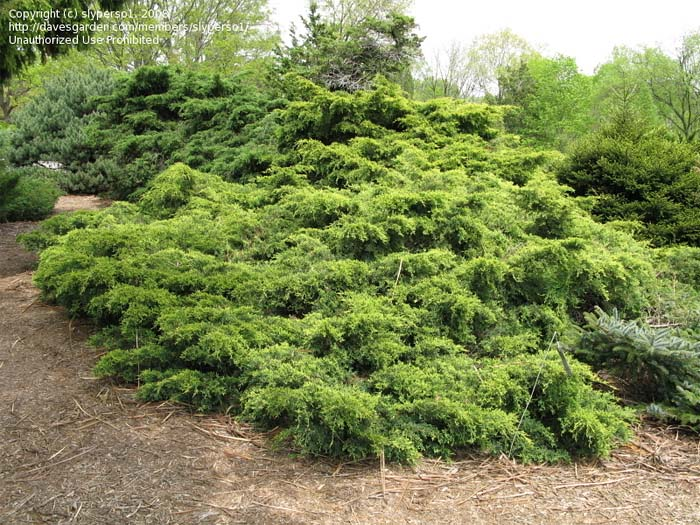 juniperus-chinensis-old-gold-01.jpg