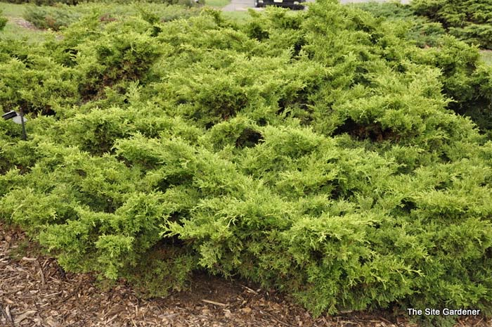juniperus-chinensis-old-gold-02.jpg