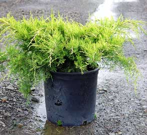 juniperus-chinensis-old-gold-03.jpg