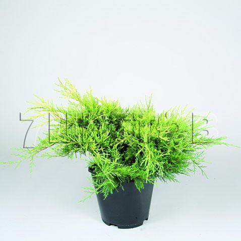 juniperus-chinensis-old-gold-04.jpg